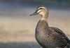 Pacific Black Duck (Anas superciliosa) by George Wilkinson