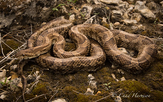 Great Plains Rat Snake | by C. harrisoni
