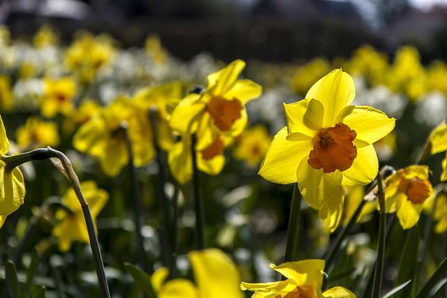 Holland - Narcissus Daffodil 2016-9
