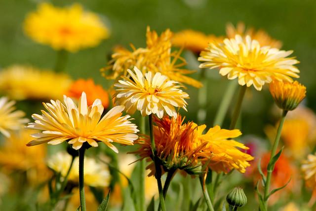 Summer daisies_On Explore