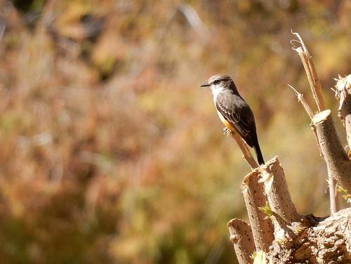 Jocotepec - Roca Azul - vogel