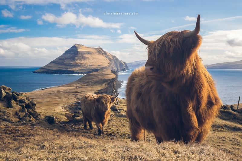 Highland cattles