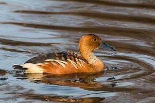 Suirirí bicolor (Fulvous Whistling Duck) (Dendrocygna bicolor) | by David A.L.