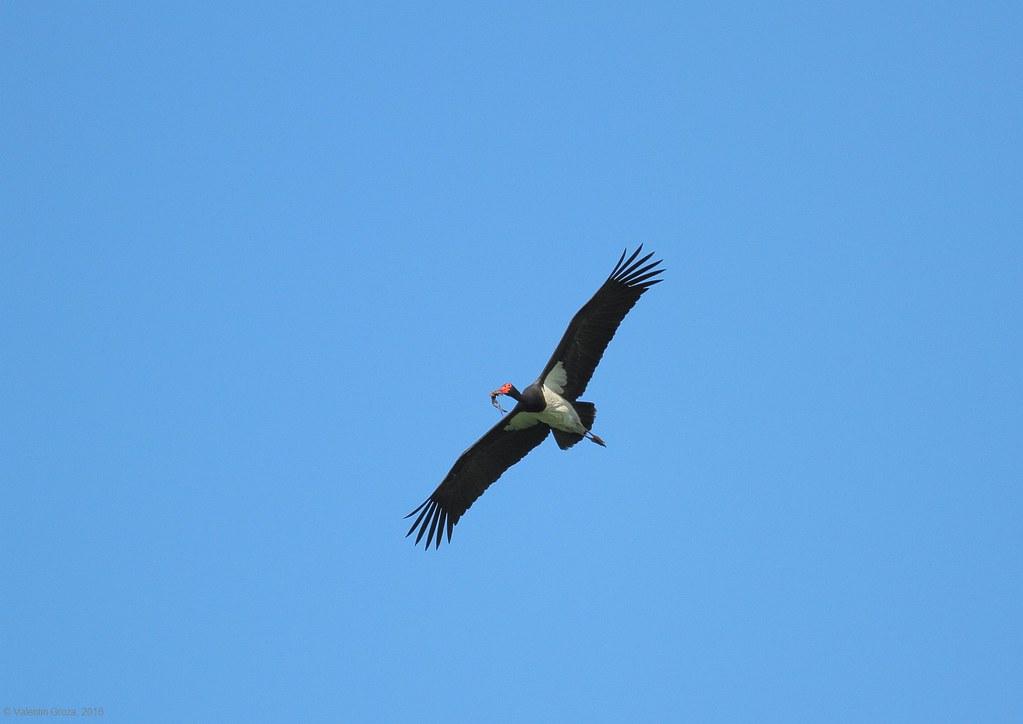 black stork with frog 1