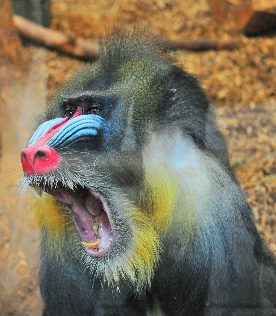 Monkey Snarling | Monkey getting annoyed in Zoo | Paul | Flickr
