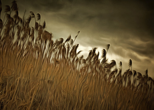 reed swamp goldenage marsh dap hss phragmitesaustralis slidersunday