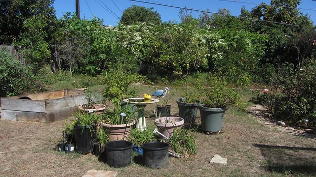 IMG_7161 goleta backyard