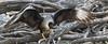 Northern Crested Caracara, Caracara cheriway by jwsteffelaar