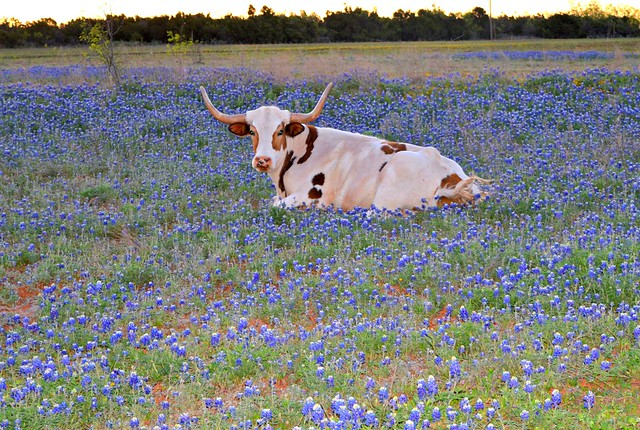 Texas Longhorn in Bluebonnets.