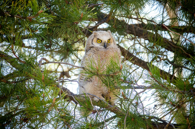 Juvenile Great-Horned Owl