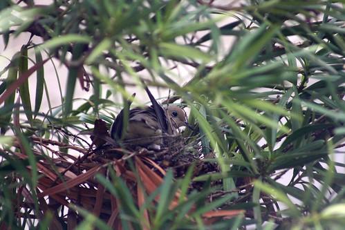 oregon nest or mourningdove zenaidamacroura jacksoncounty