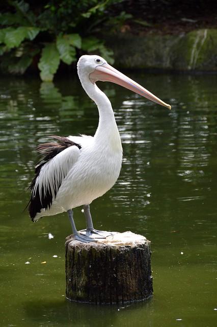Pelican (Pelicanus)