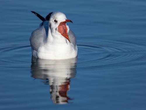 blue reflection water birds wasser blau vögel landschaft blackheadedgull spiegelungen steinhude lachmöwe wildlifeanimal wildlebendestier