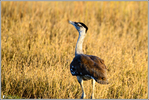 Bustard | by Ross_M