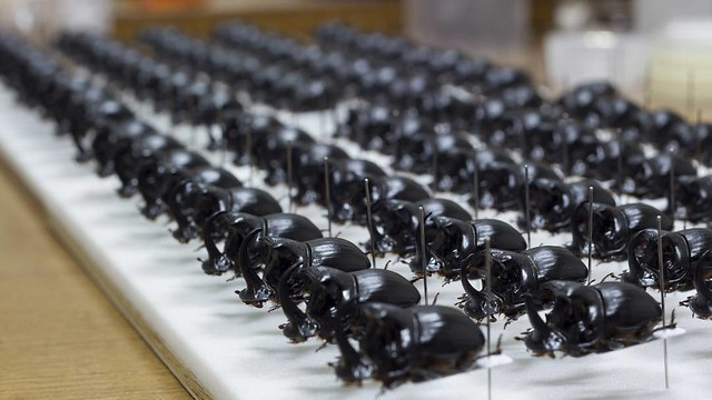 大黒さま   #horned #dungbeetle #beetles #specimen #nature #coleoptera #scarabaeidae #insect #昆虫 #標本