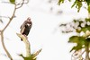 Red-headed Vulture (Sarcogyps calvus) by Sanjay Dandekar