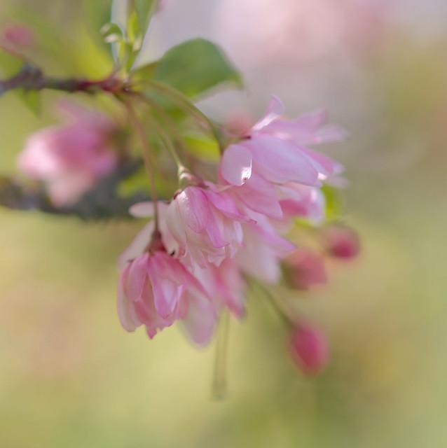 More Spring Blossom