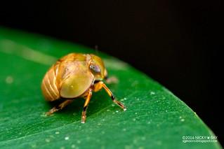 Pill-like planthopper nymph (Hemisphaerius sp.) - DSC_6435