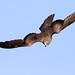 Oiseaux - Acipitriformes