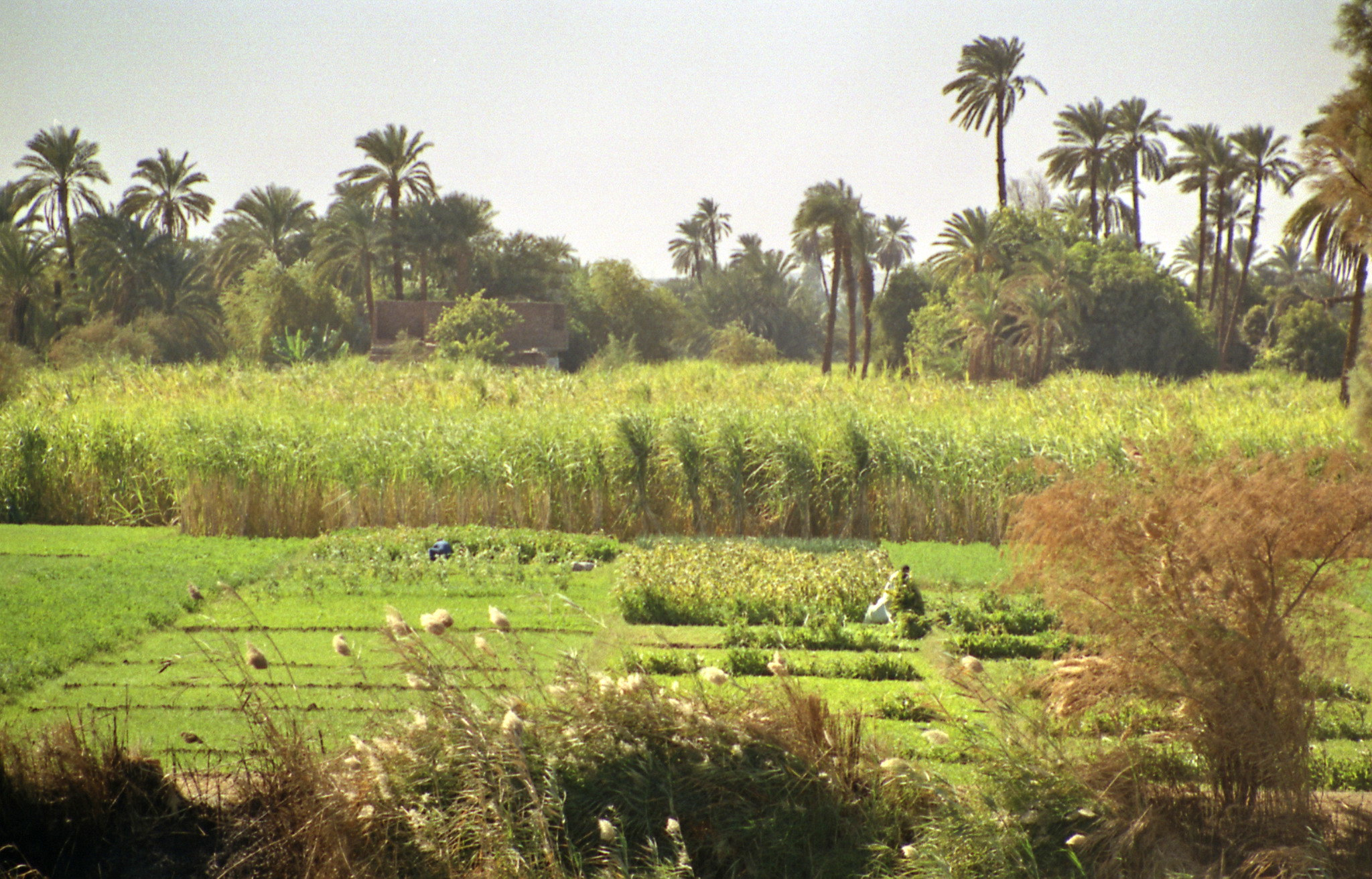 plantaciones a orillas de el río Nilo Egipto