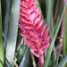 Aechmea distichantha - Photo (c) Tony Hisgett, algunos derechos reservados (CC BY)