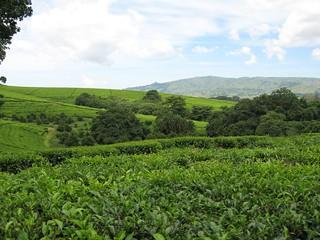 Tea estates in Thyolo