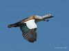 South African shelduck (Tadorna cana) male by Jim Scarff
