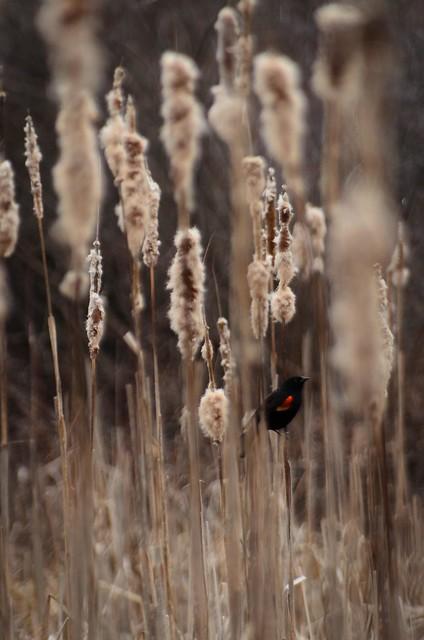 Blackbird and Cattails