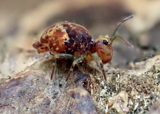 Ptenothrix maculosa EXP 12
