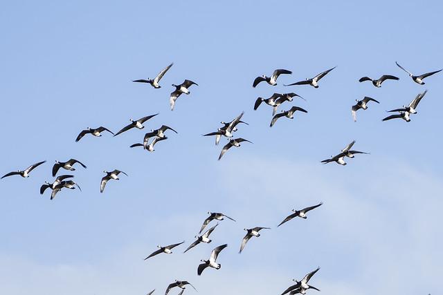 Barnacle Goose (Branta leucopsis) 04