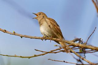 Common Nightingale (Luscinia megarhynchos) | by berniedup