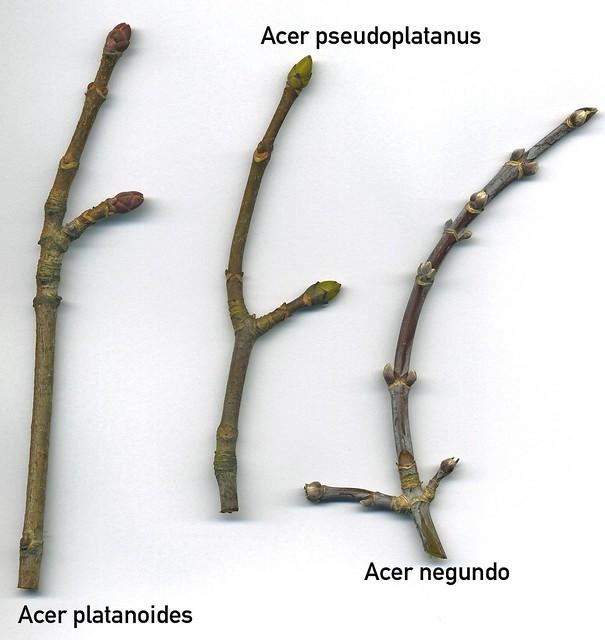 Acer buds