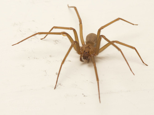 Brown Recluse | by Sean McCann (ibycter.com)