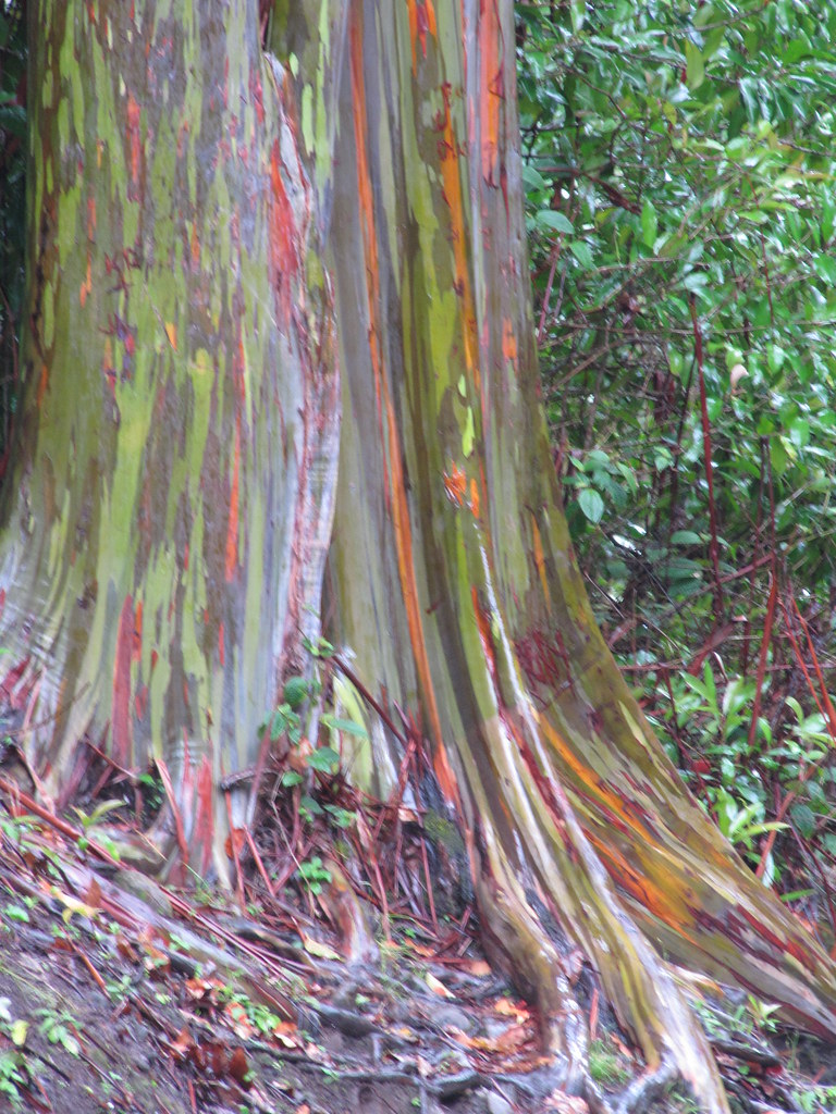 Privacy Policy >> starr-090618-1064-Eucalyptus_deglupta-trunk_and_bark-Hana ...