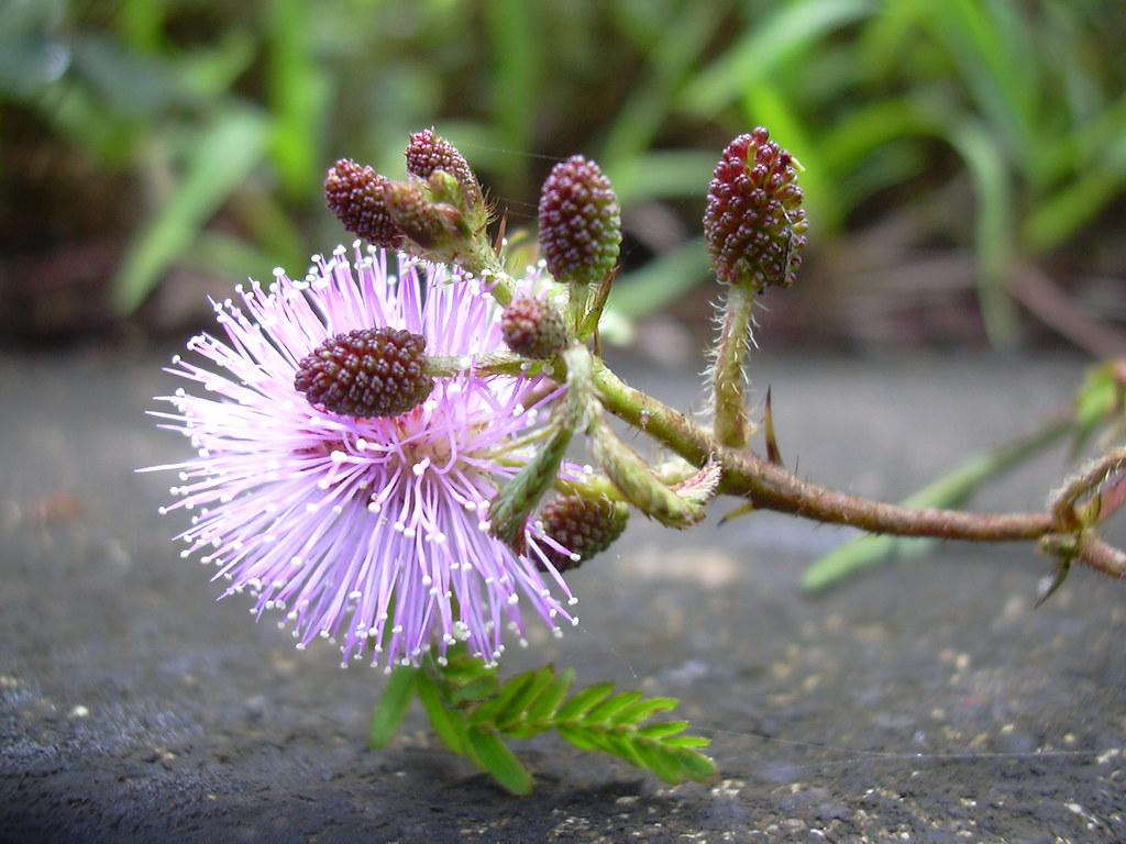 starr-040209-0120-Mimosa_pudica-flowers-Hana_Hwy-Maui