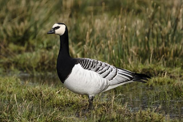 Barnacle Goose (Branta leucopsis) 03
