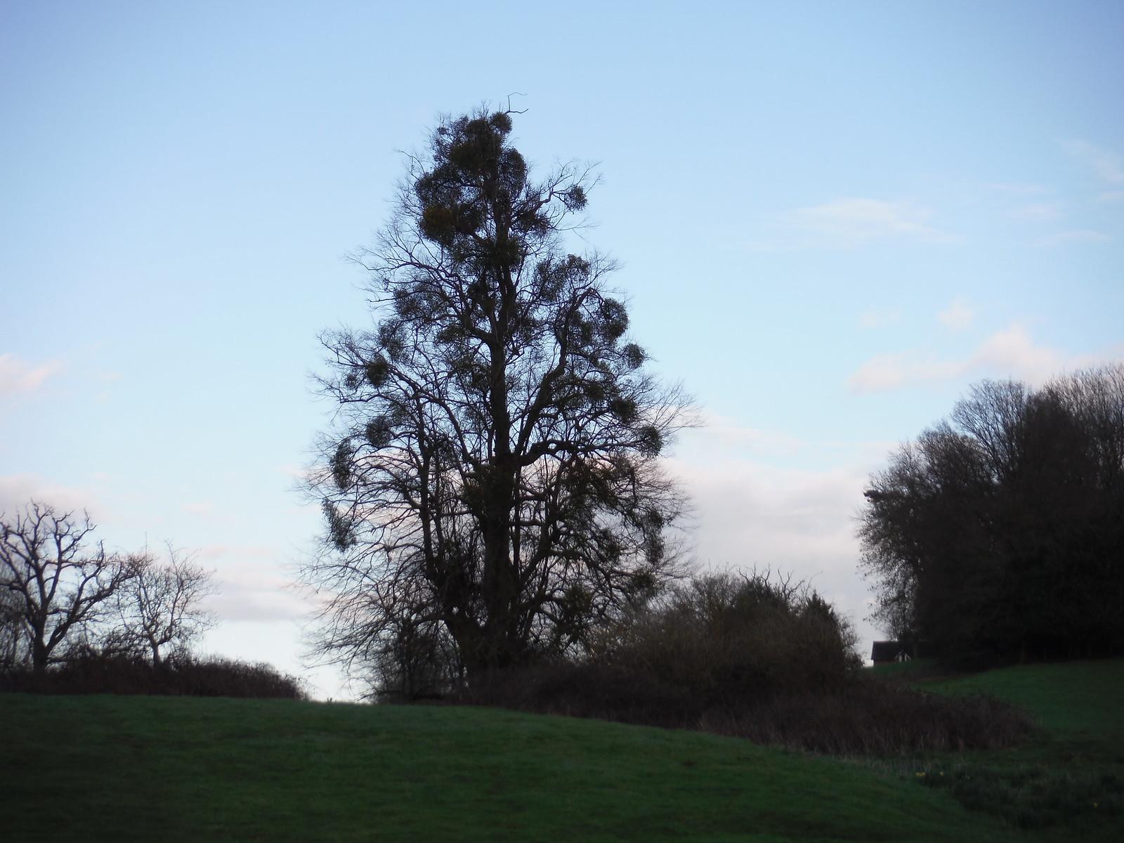 Tree in Midgham Park SWC Walk 117 Aldermaston to Woolhampton (via Stanford Dingley)