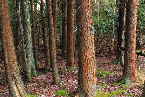 trees winter nature forest hiking pennsylvania creativecommons poconos trunks coniferous leaflitter headwaters waynecounty hemlocks tsugacanadensis easternhemlocks hemlockpalustrineforest westforklehighriver stategameland312 stategamelands312 sgl312