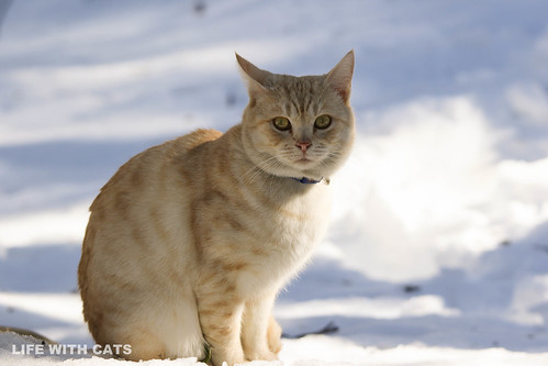 4T4A4757 Cream tabby Japanese cat 薄茶トラ猫