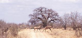 Roan antelopes Ruaha National Park in Tanzania   by inyathi