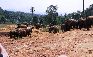 39 Pinnawala Elephant Orphanage   by wesshere