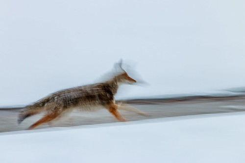 coyote winter snow motion newmexico nature outdoor albuquerque whitebackground motionblur predator naturephotography canislatrans prairiewolf americanjackal