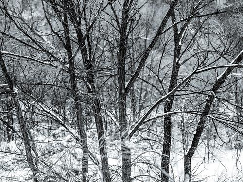 blue trees winter blackandwhite usa white snow cold newmexico santafe nature monochrome landscape photography countryside photo december photographer image fav50 unitedstatesofamerica fav20 hasselblad photograph 100 toned fav30 fineartphotography 80mm f35 2015 santafenationalforest commercialphotography fav10 fav40 santafecounty intimatelandscape hc80 ¹⁄₄₀₀sec mabrycampbell h5d50c december242015 20151224campbellb0000229