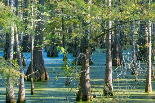 trees usa lake sunrise louisiana atchafalayabasin delta bayou swamp wetlands cypress lakemartin baldcypress cypressknees