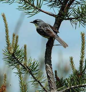 Kirtland's warbler in Michigan | by U.S. Fish and Wildlife Service - Midwest Region