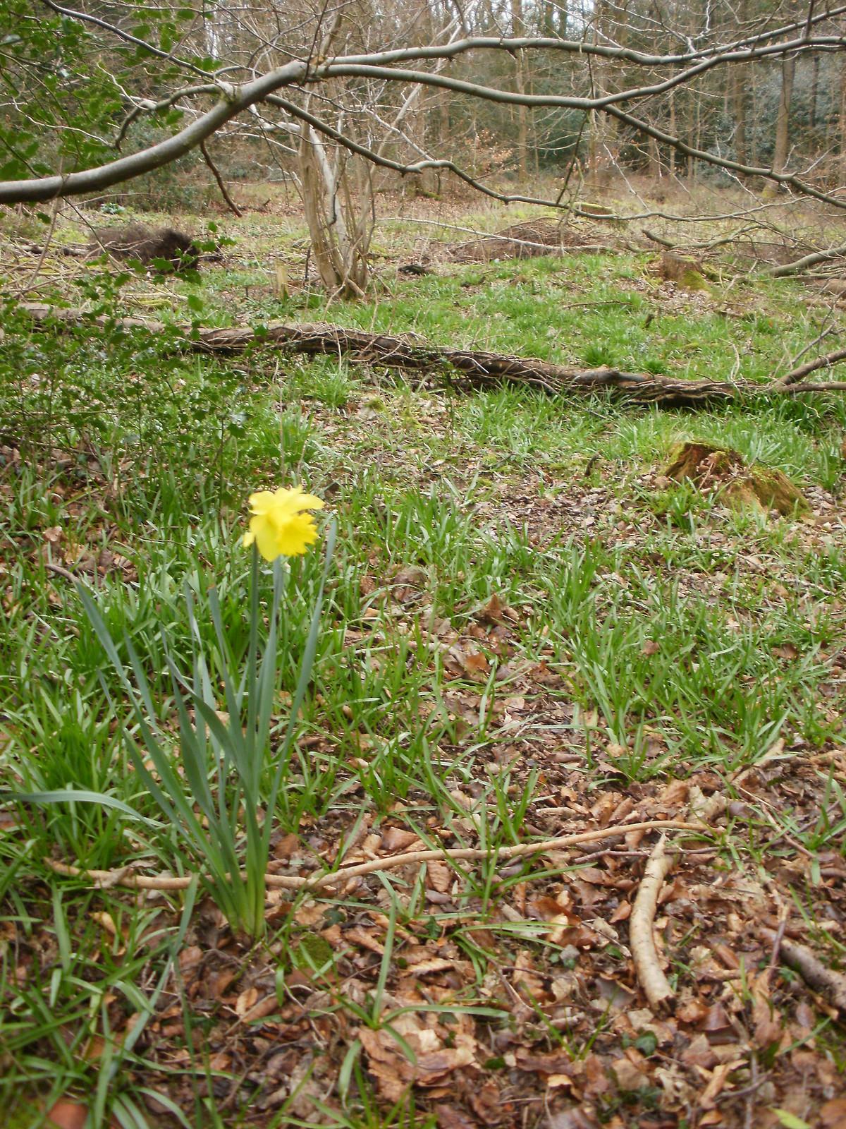 Daffodil in the wood OLYMPUS DIGITAL CAMERA