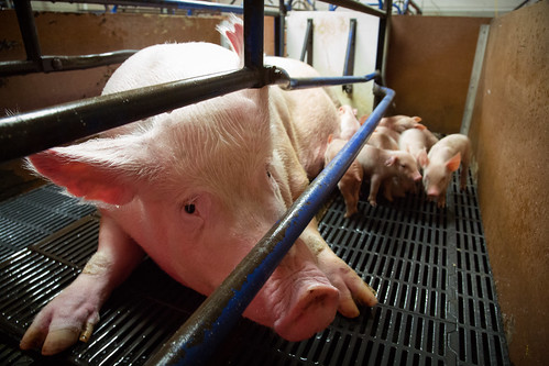 Waikato pig farm 2015 | by Farmwatch