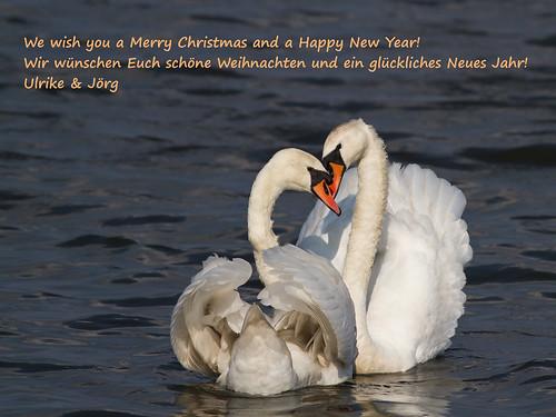 blue birds weihnachten couple wasser paar blau vögel muteswan höckerschwan winzlar