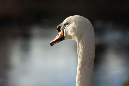 Swan | by Rob Swain Photography