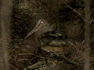 American Woodcock | by Justin Lee (NoNameKey)